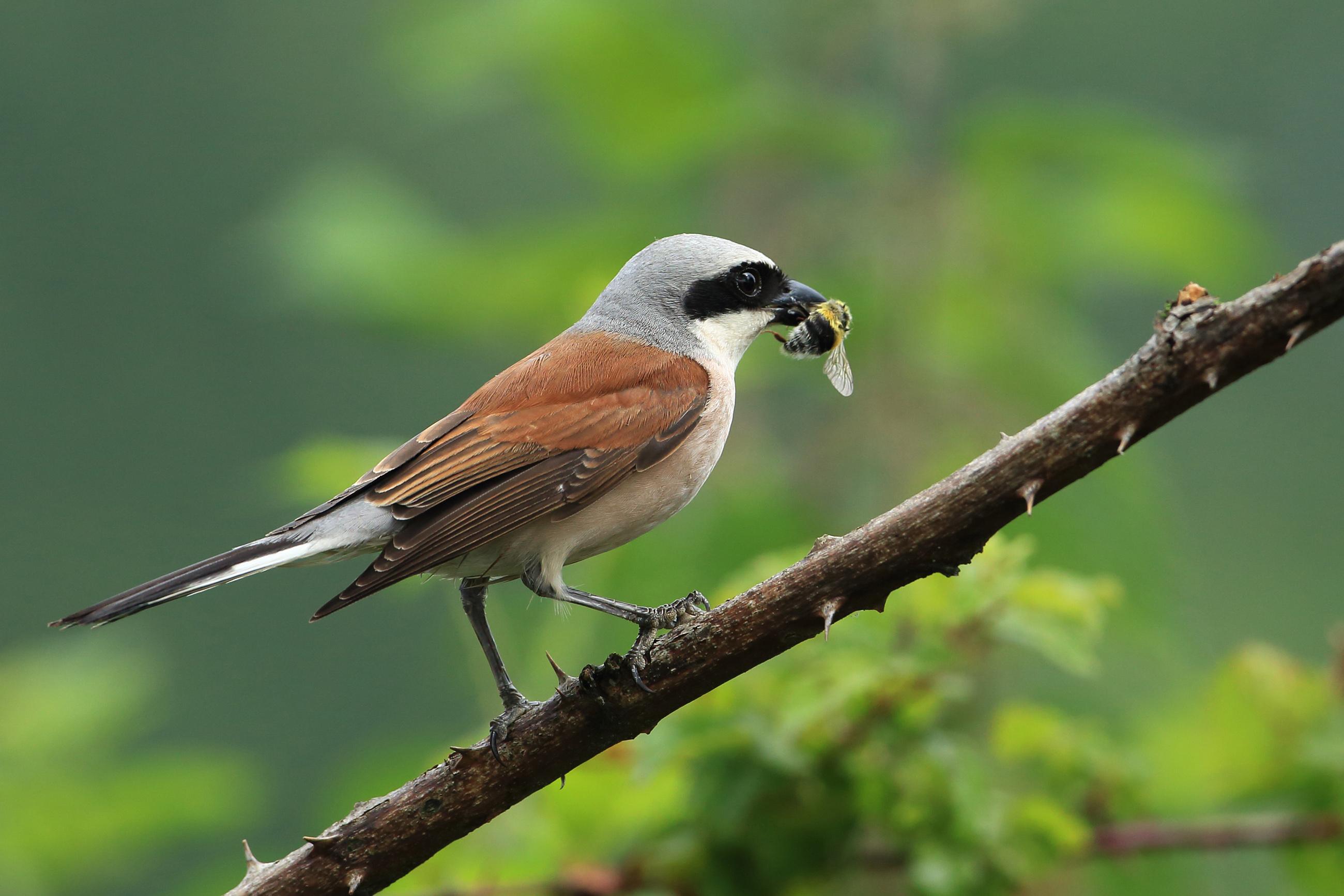 Vroege vogels foto vogels grauwe klauwier for An und verkauf gebrauchtmobel