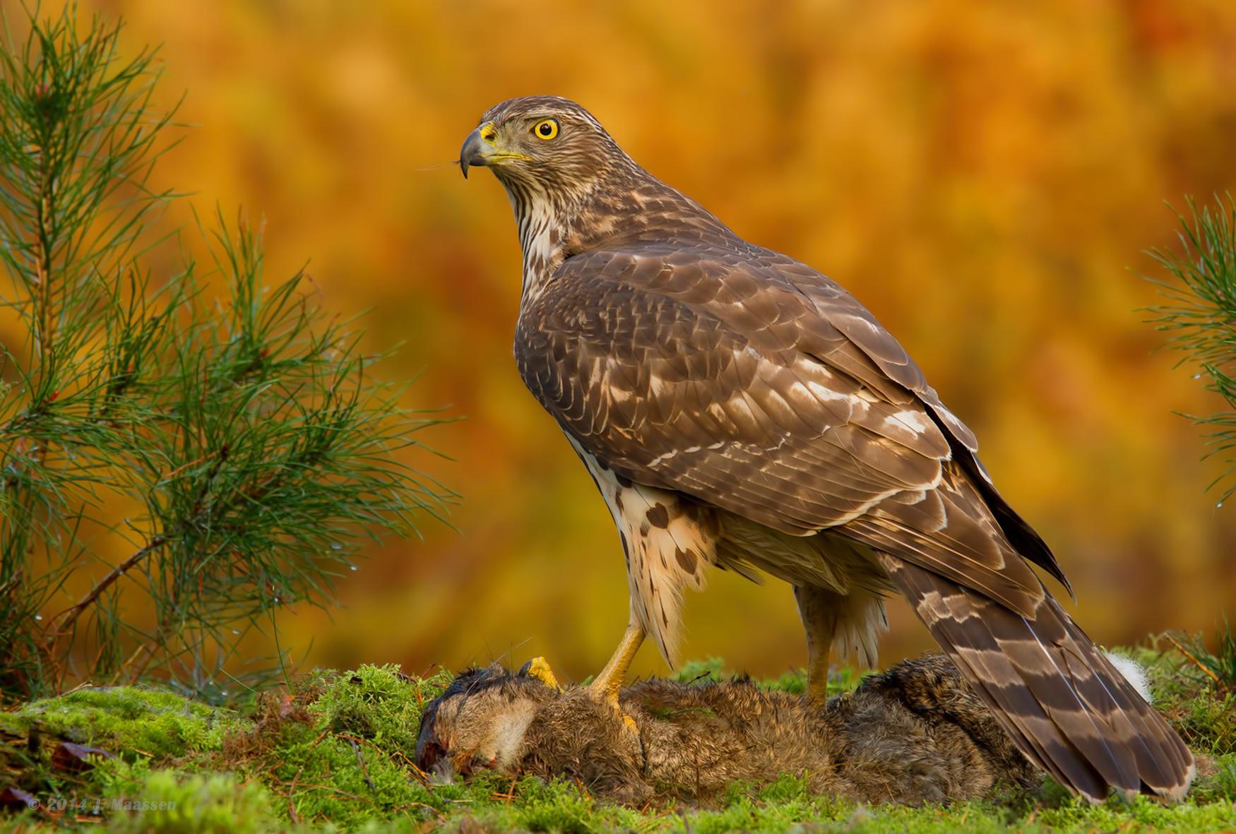 Vroege vogels foto vogels havik for An und verkauf gebrauchtmobel