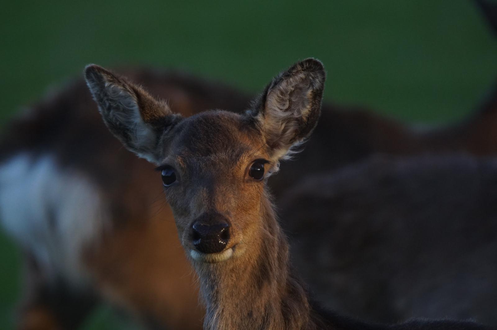 indringende ogen - Zoogdieren - damhert