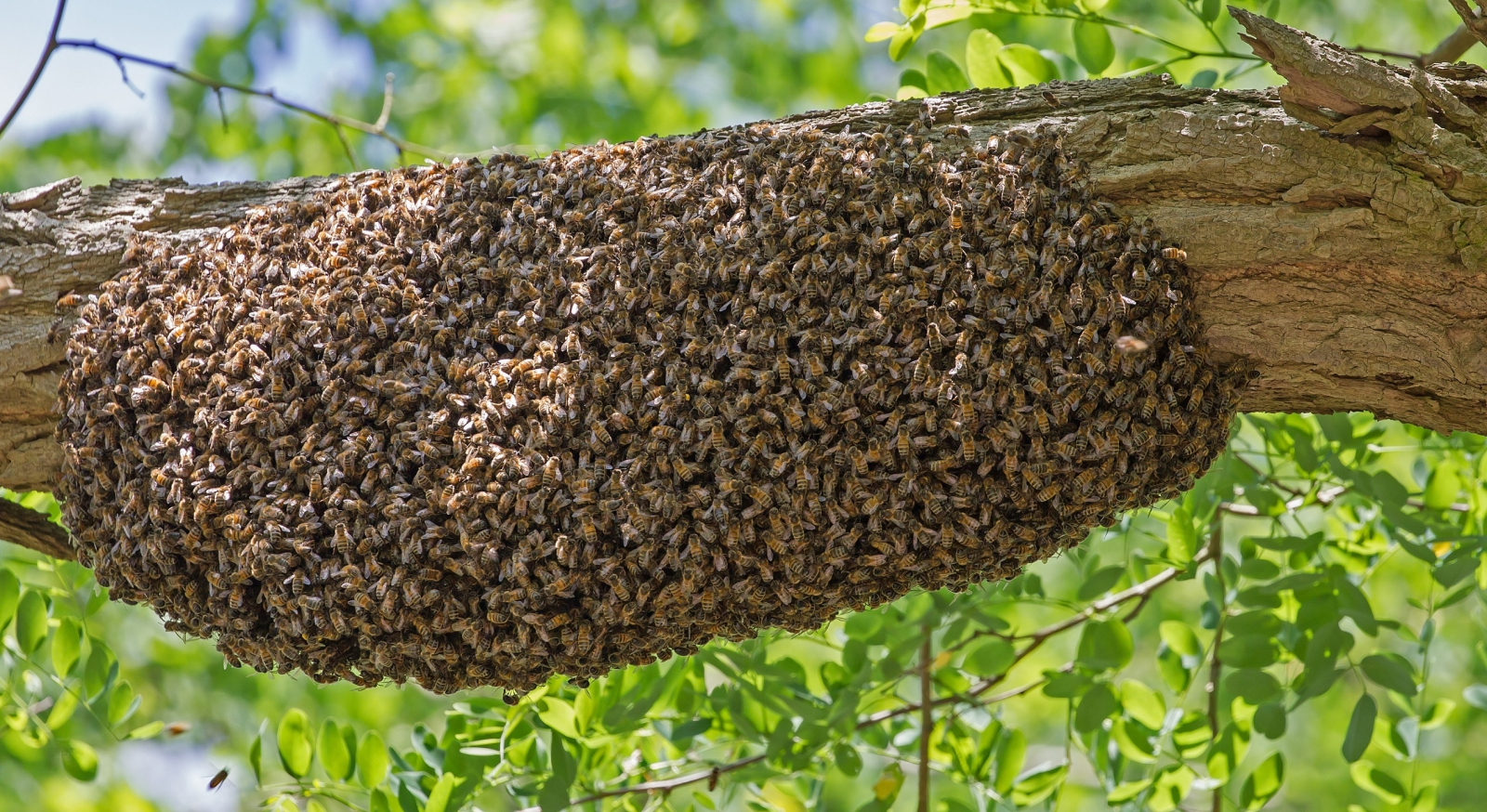 Bijenzwerm - Geleedpotigen - Honingbij