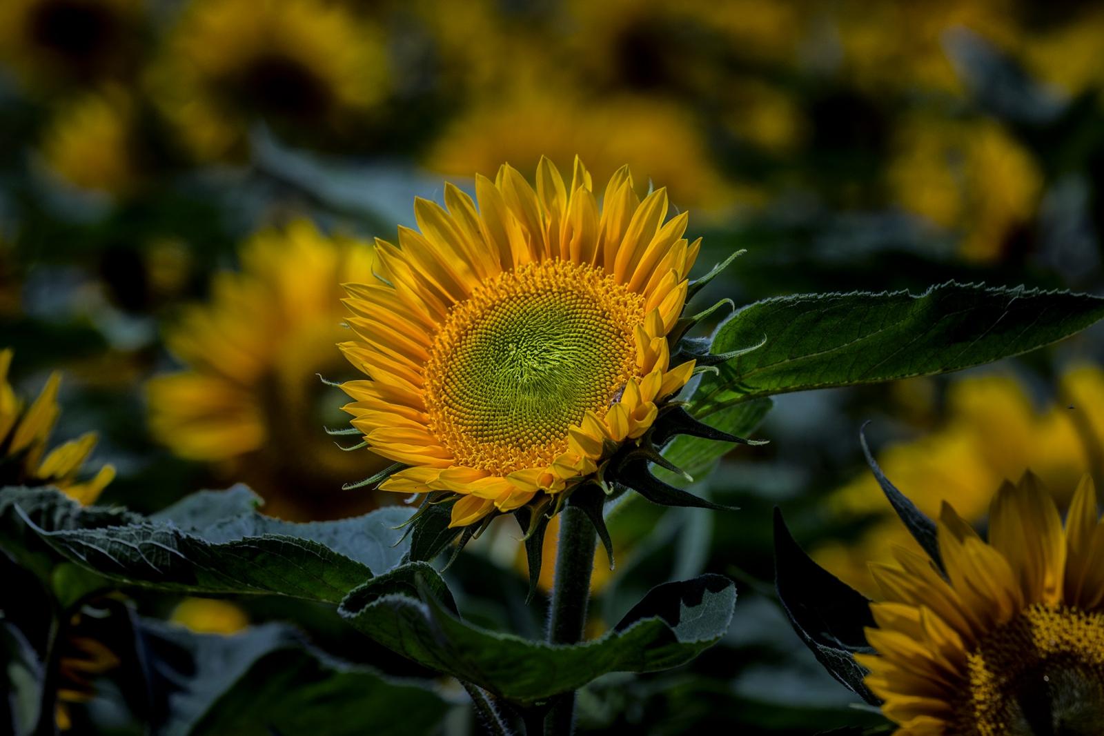 in de volle zon... - Planten - zonnebloem