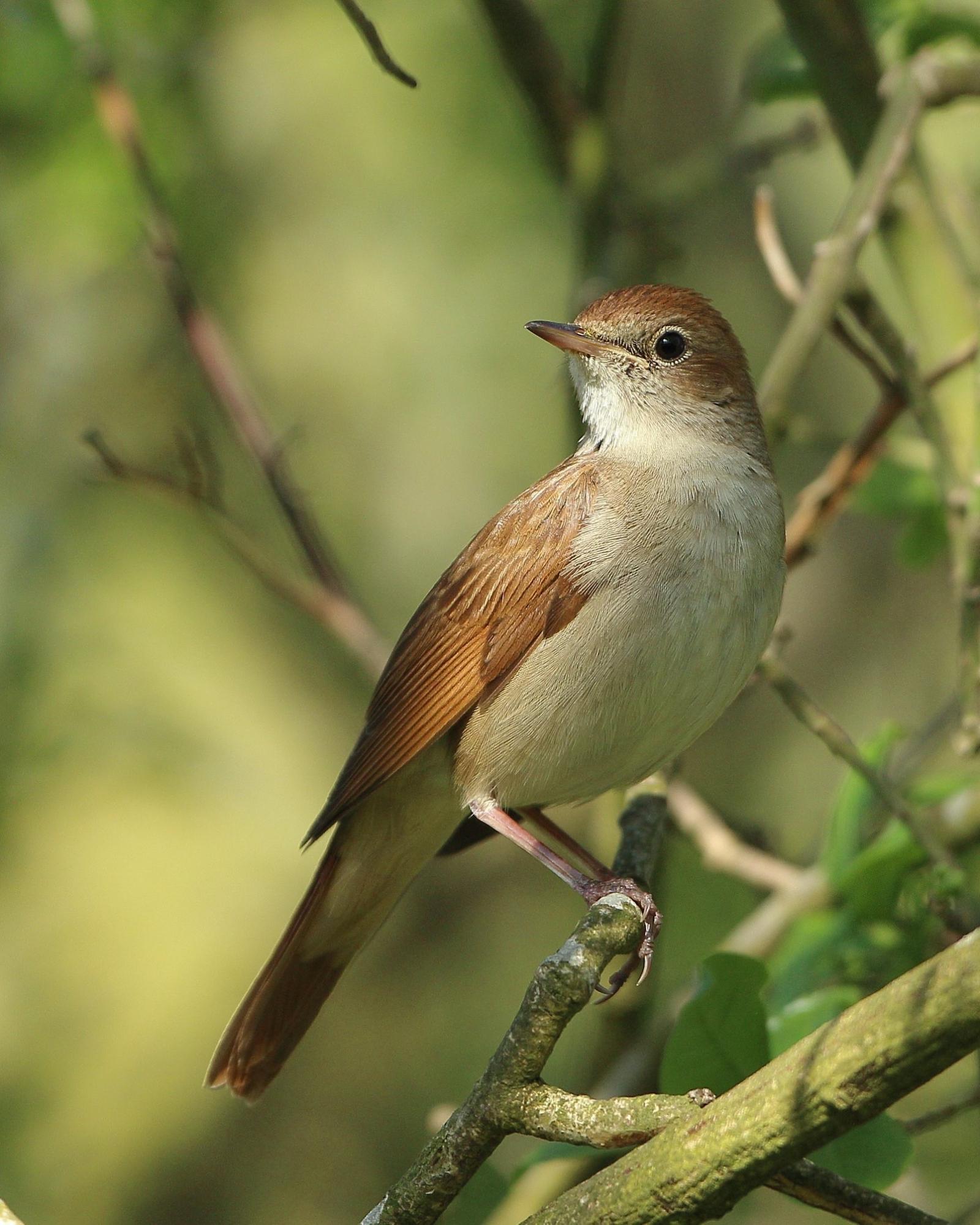 vroege vogels foto vogels nachtegaal