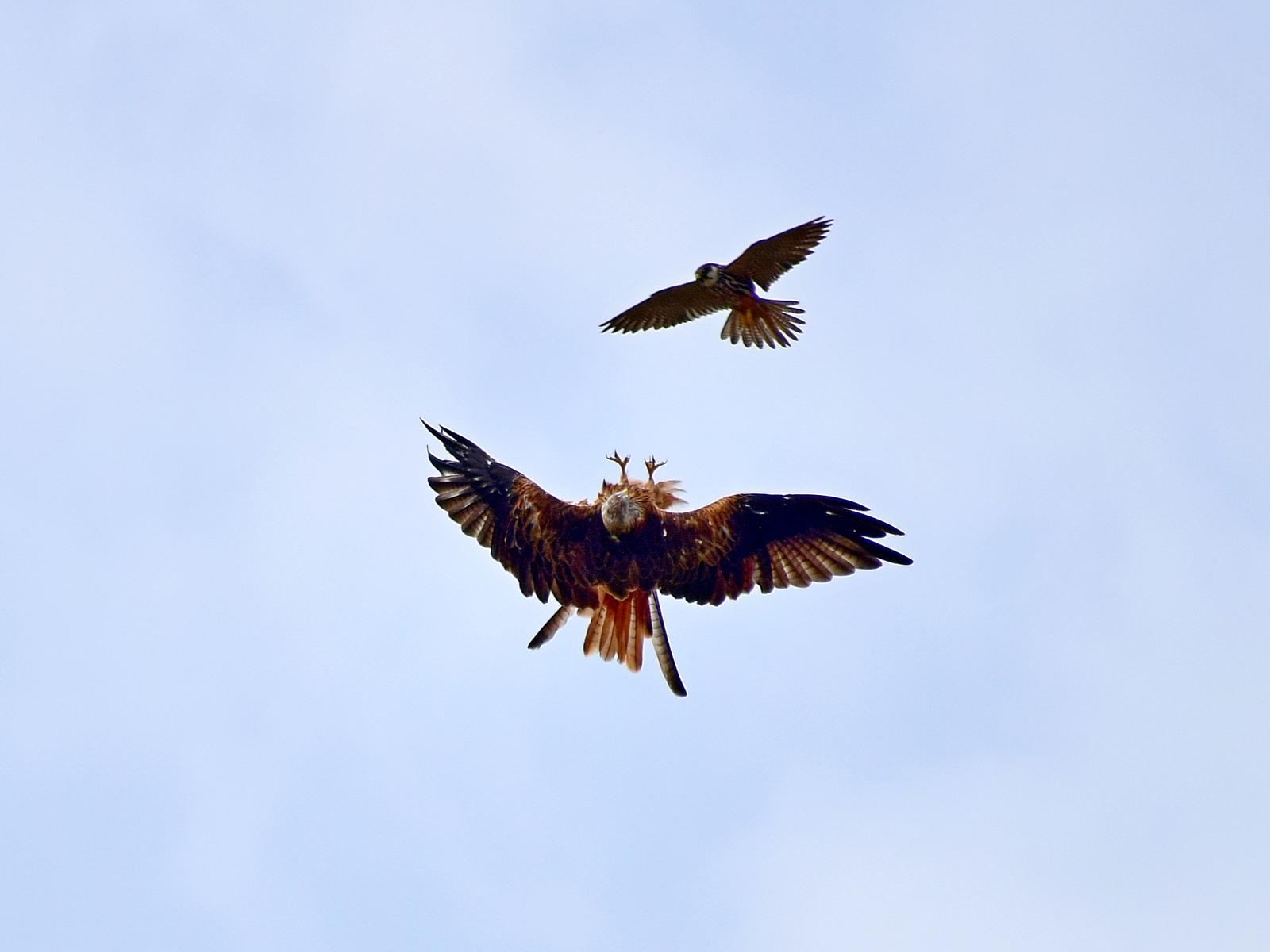 Red kite-hobby disagreement